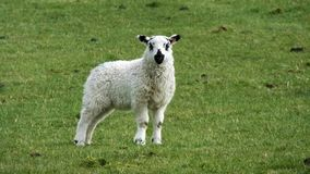 Lamb in a field in Ireland royalty free stock images