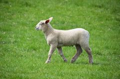 Lamb  in a field Stock Photos