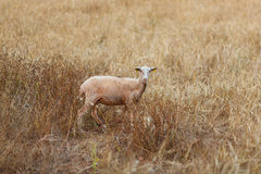 Lamb in a field Royalty Free Stock Photos