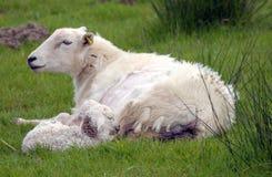 Lamb in field near Llangrannog Royalty Free Stock Image