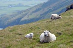 Lamb in field near Llangrannog Stock Photo