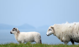 Lamb in field near Llangrannog Stock Photography