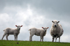 Lamb in field near Llangrannog Royalty Free Stock Photos