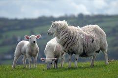 Lamb in field near Llangrannog Royalty Free Stock Photos