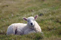 Lamb in field near Llangrannog Royalty Free Stock Images