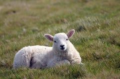 Lamb in field near Llangrannog Royalty Free Stock Images
