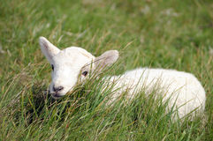 Lamb in field near Llangrannog Stock Images