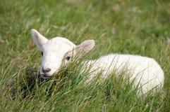 Lamb in field near Llangrannog Stock Images
