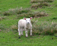 A lamb in the field Royalty Free Stock Photo