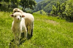 Lamb in the field Royalty Free Stock Image