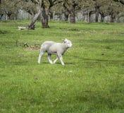 Lamb in Field Stock Photo