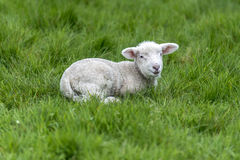 Lamb in field Stock Photography
