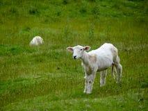 Lamb in Field Royalty Free Stock Photos