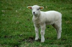 Lamb in the fields. A small lamb in the fields in spring Stock Images