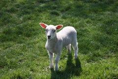 lamb fjädern Arkivbilder