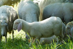 Lamb in the flock Stock Photography