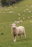 Lamb with flock of sheep in background Royalty Free Stock Images