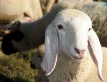 Lamb of the flock of sheep graze Royalty Free Stock Photos