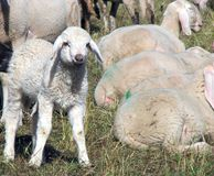 Lamb of the flock of sheep graze Royalty Free Stock Image
