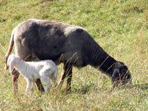 Lamb of the flock of sheep graze Stock Photo