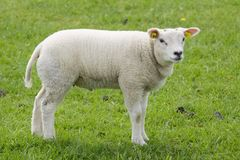 Lamb on freshly pasture Royalty Free Stock Images