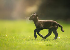 Lamb Gambolling in Sunny Meadow. A three day old Norfolk Horn lamb joyfully runs across an idyllic English meadow, with pretty sunlight above royalty free stock photo