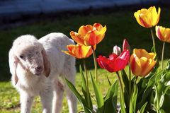 Lamb in the garden Stock Photos