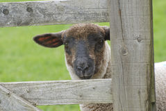 Lamb at gate Stock Image