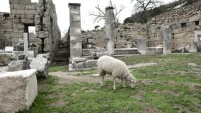 Lamb of god among the ruins of antique temple. Lamb of god is grazing among the ruins of antique temple. This is an absolutely peaceful scene. Labraunda Near stock video footage