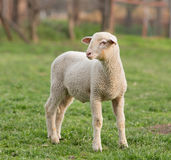 Lamb on grass royalty free stock image