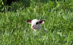 Lamb in the grass Stock Photography