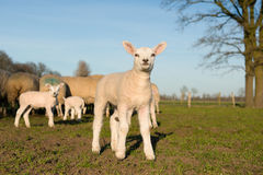Lamb on a grassfield with other sheep in the background facing the camera on a sunny day Stock Photos