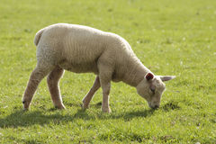 Lamb grazing Royalty Free Stock Photos