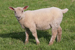Lamb grazing Stock Image