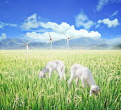 Lamb grazing. Agriculture clean energy. Royalty Free Stock Photo