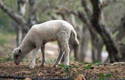 Lamb grazing in a farmland Stock Photo