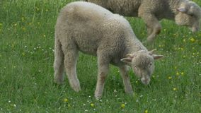 Lamb Grazing Fresh Grass stock video