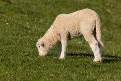 Lamb grazing on fresh meadow Royalty Free Stock Photo