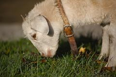 Lamb grazing in the grass Royalty Free Stock Images