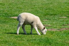 Lamb grazing in grass meadow in spring royalty free stock photography
