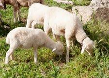Lamb grazing green grass Stock Photos