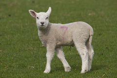 Lamb grazing Royalty Free Stock Photos