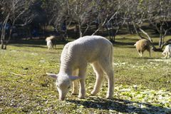 Lamb grazing in a meadow Stock Images