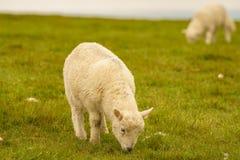 Lamb grazing on a meadow. Near Foel Eryr, Clynderwen, Pembrokeshire, Dyfed, Wales, UK Stock Photos