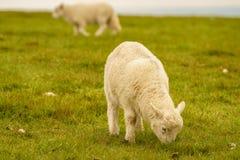 Lamb grazing on a meadow. Near Foel Eryr, Clynderwen, Pembrokeshire, Dyfed, Wales, UK Royalty Free Stock Photos
