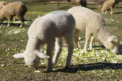 Lamb grazing in a meadow Stock Photography