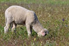 Lamb grazing on the meadow Royalty Free Stock Photo
