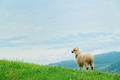 Lamb grazing on the picturesque landscape Stock Photos