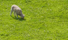 Lamb grazing in a prairie. One lamb grazing leisurely on a daisy laden meadow, with text space Royalty Free Stock Image