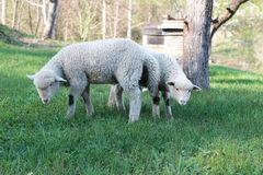 Lamb grazing in rural field Stock Photography